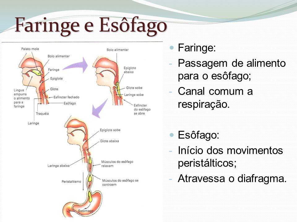 Faringe e Esôfago Faringe: Passagem de alimento para o esôfago;