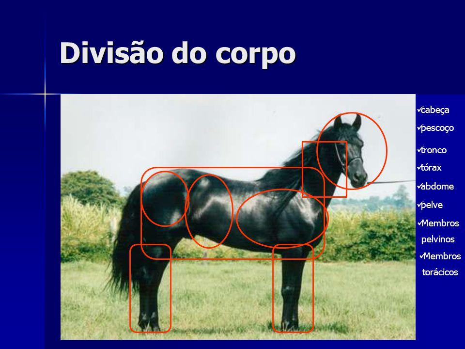 Divisão do corpo Cabeça Pescoço Tronco {Tórax, abdome e pelve}
