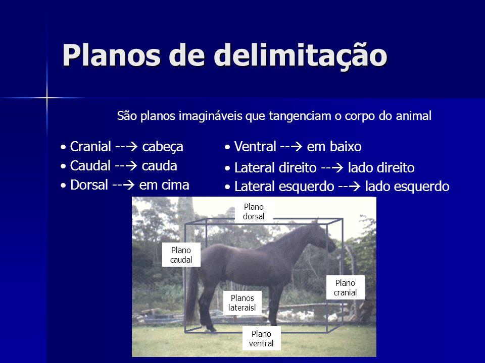 Planos de delimitação Cranial -- cabeça Ventral -- em baixo