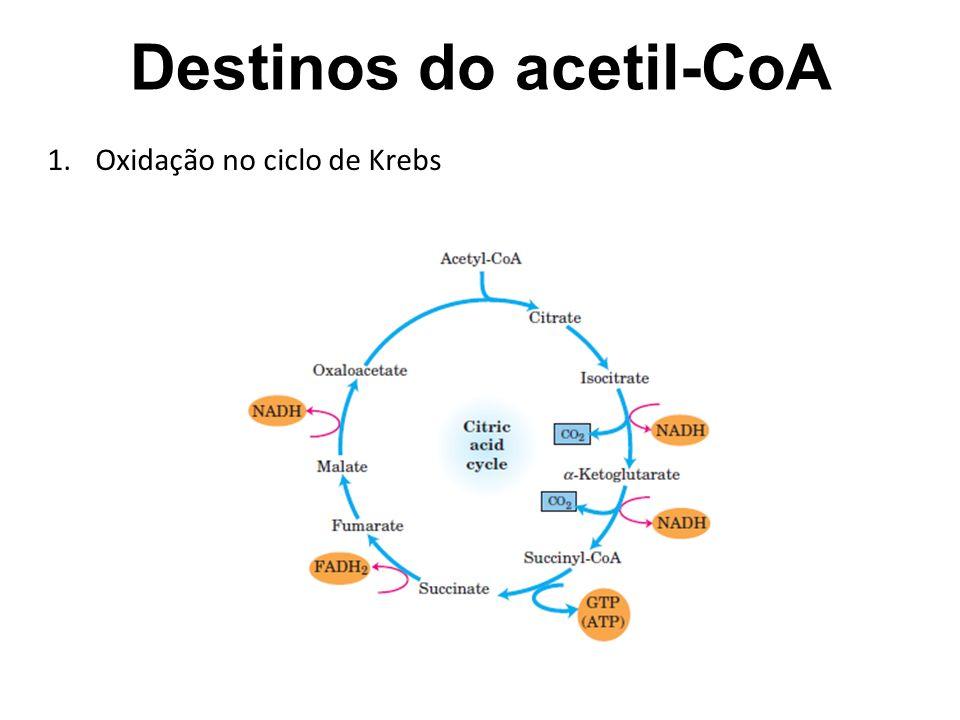 Destinos do acetil-CoA