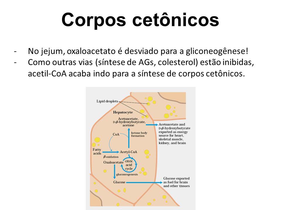 Corpos cetônicos No jejum, oxaloacetato é desviado para a gliconeogênese!