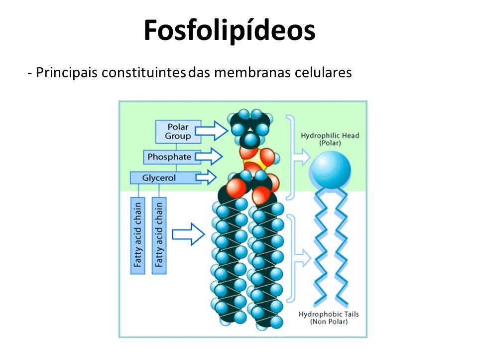 Fosfolipídeos - Principais constituintes das membranas celulares