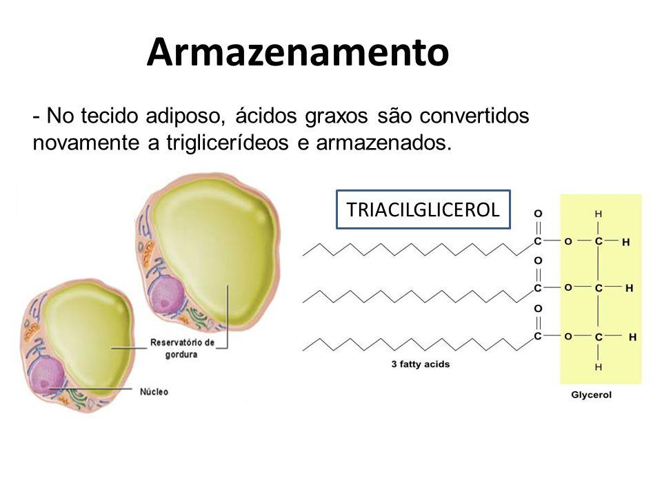 Armazenamento No tecido adiposo, ácidos graxos são convertidos novamente a triglicerídeos e armazenados.