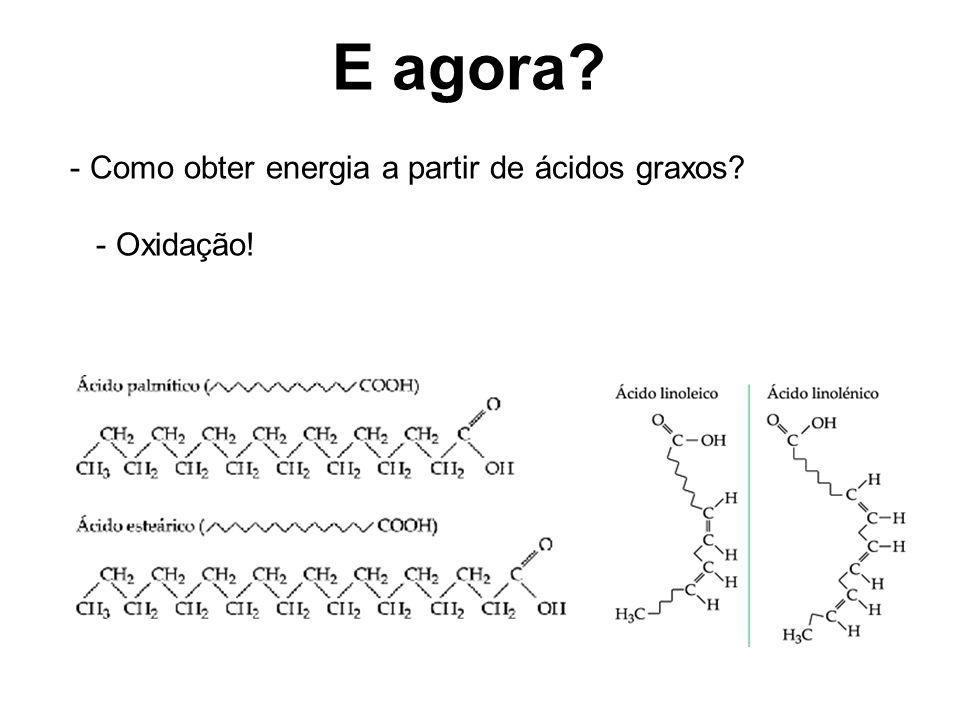 E agora Como obter energia a partir de ácidos graxos - Oxidação!