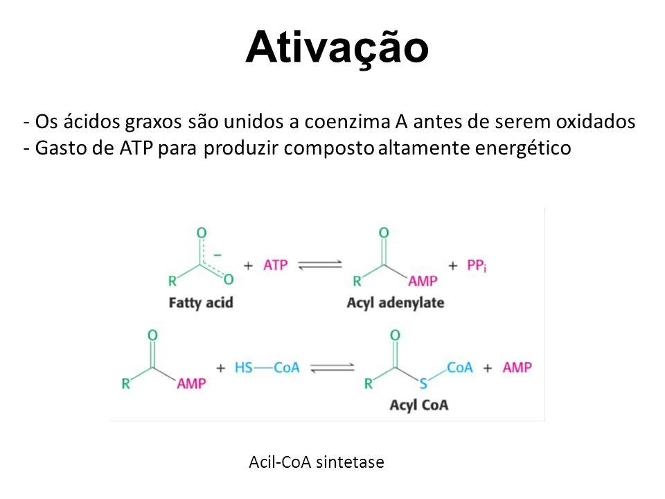 Ativação Os ácidos graxos são unidos a coenzima A antes de serem oxidados. Gasto de ATP para produzir composto altamente energético.