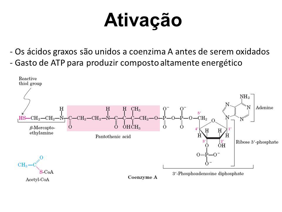 Ativação Os ácidos graxos são unidos a coenzima A antes de serem oxidados.