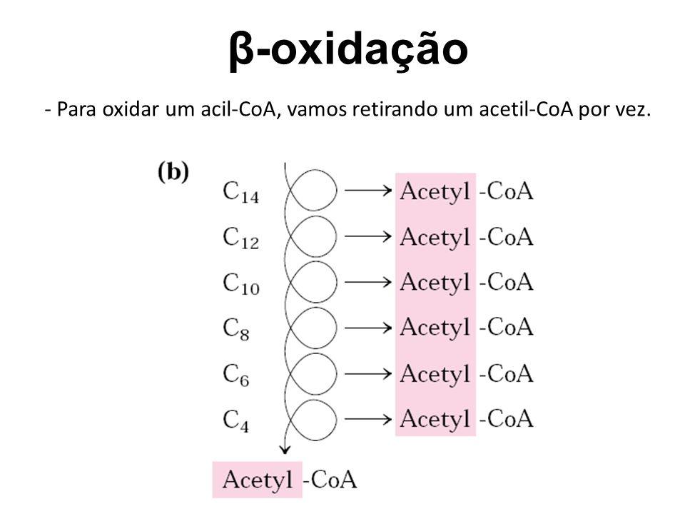 β-oxidação - Para oxidar um acil-CoA, vamos retirando um acetil-CoA por vez.