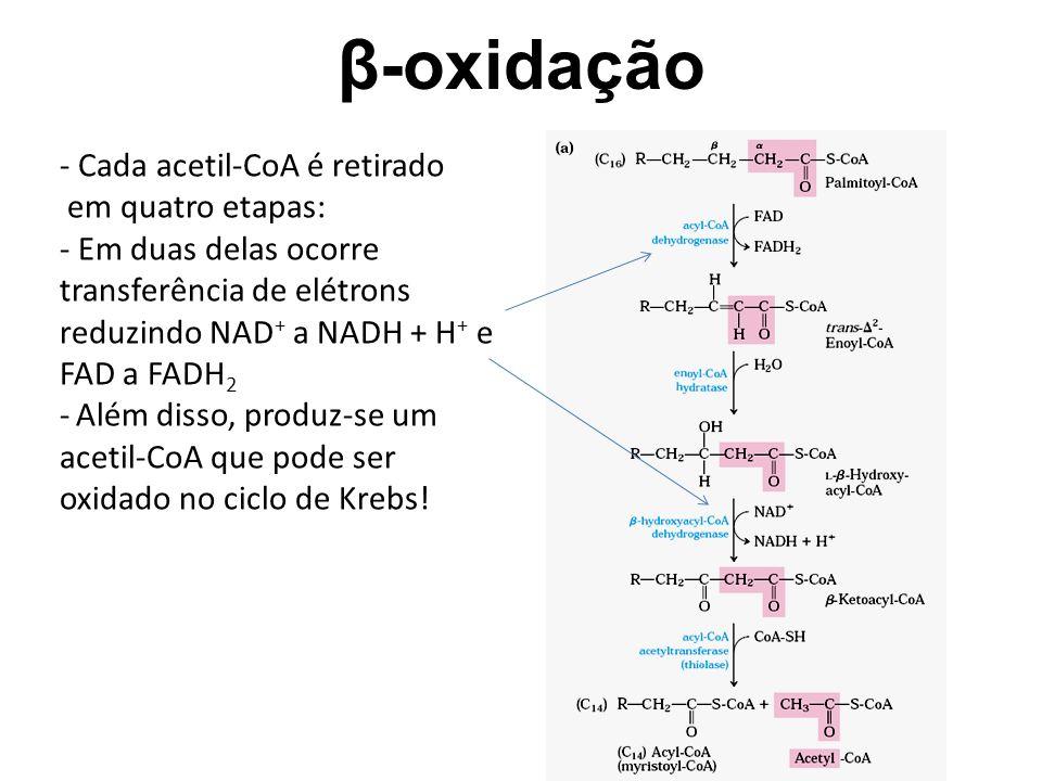 β-oxidação - Cada acetil-CoA é retirado em quatro etapas: