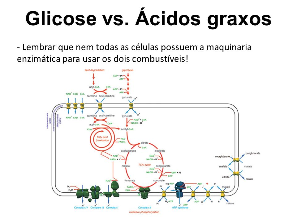 Glicose vs. Ácidos graxos