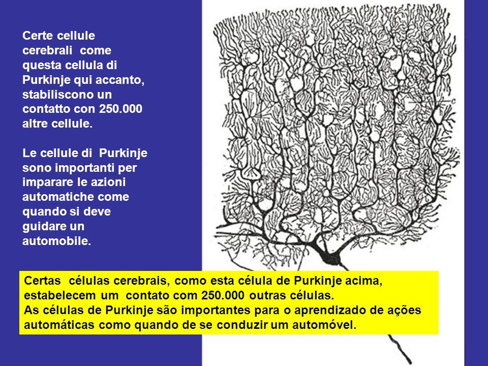 Certe cellule cerebrali come questa cellula di Purkinje qui accanto, stabiliscono un contatto con 250.000 altre cellule.