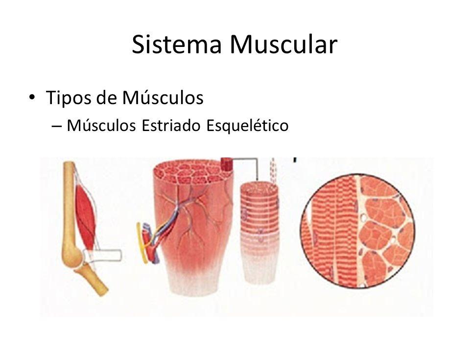 Sistema Muscular Tipos de Músculos Músculos Estriado Esquelético
