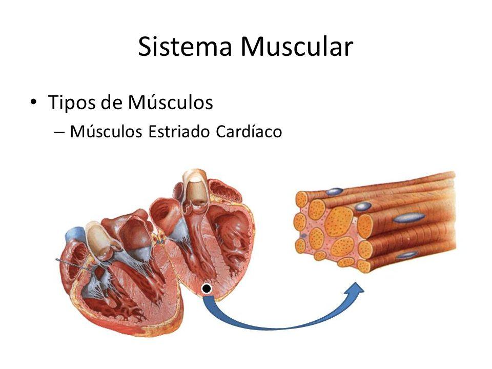 Sistema Muscular Tipos de Músculos Músculos Estriado Cardíaco