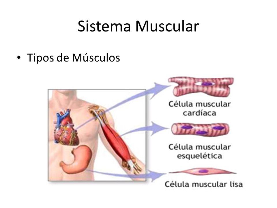 Sistema Muscular Tipos de Músculos