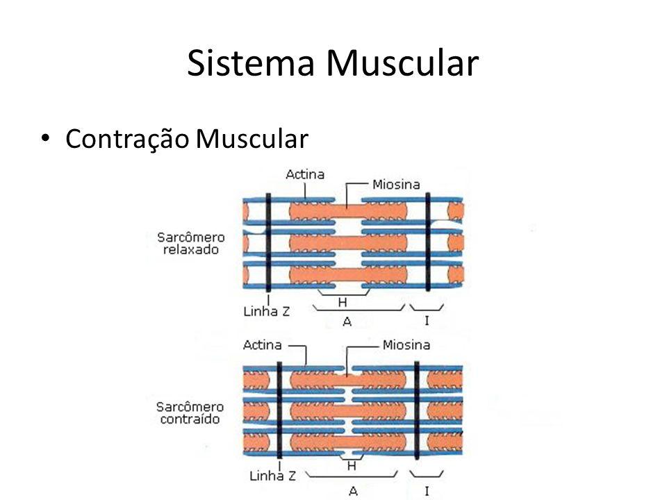 Sistema Muscular Contração Muscular
