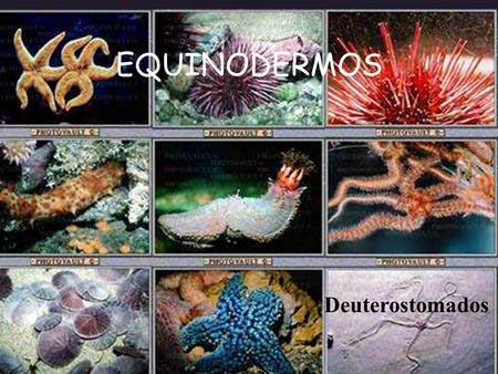 EQUINODERMOS Deuterostomados.