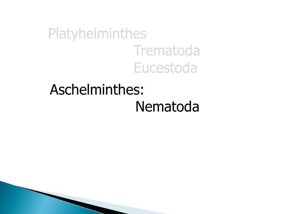 Phylum aschelminthes ppt. Fonálférgek – Wikipédia