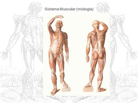 Sistema Muscular (miologia)