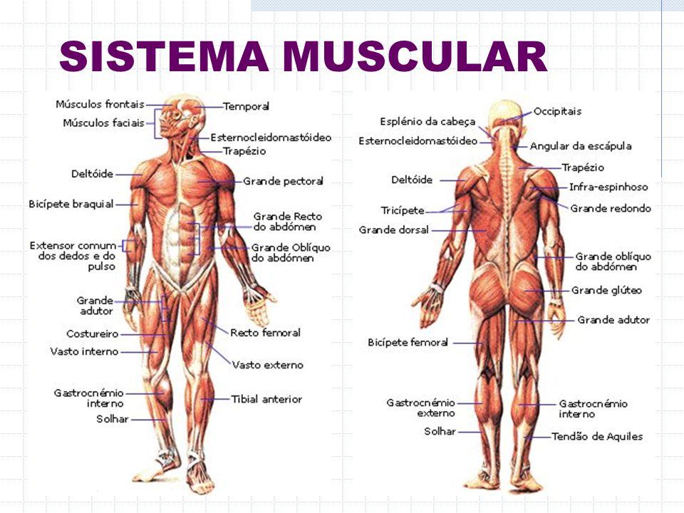 Sistema Muscular No Corpo Humano Existe Uma Enorme Variedade