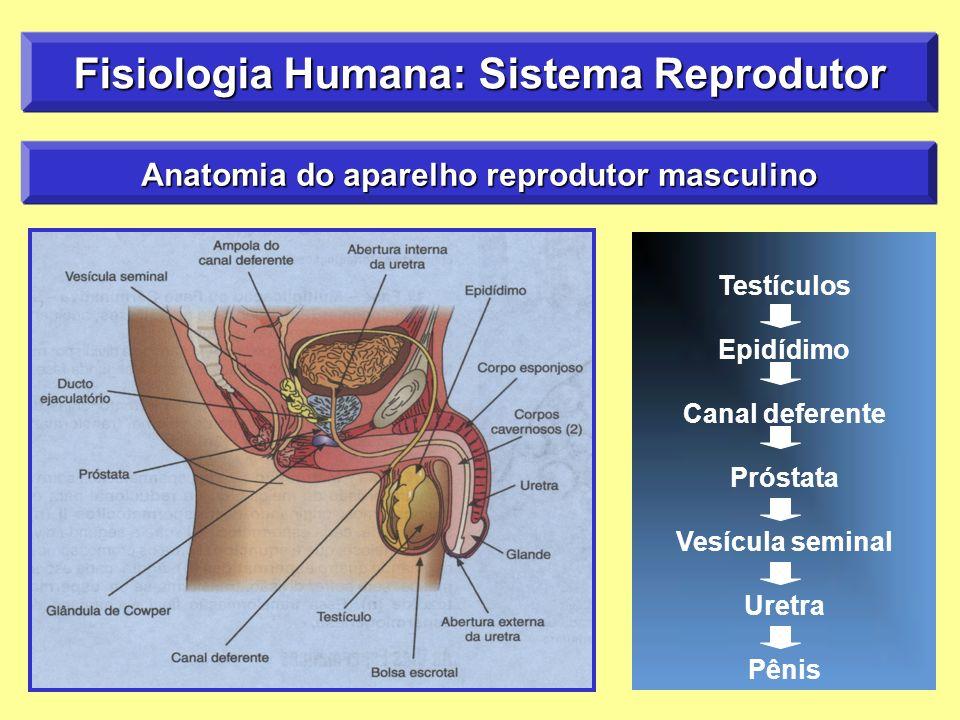 Increíble Testículos Humanos Anatomía Inspiración - Anatomía de Las ...
