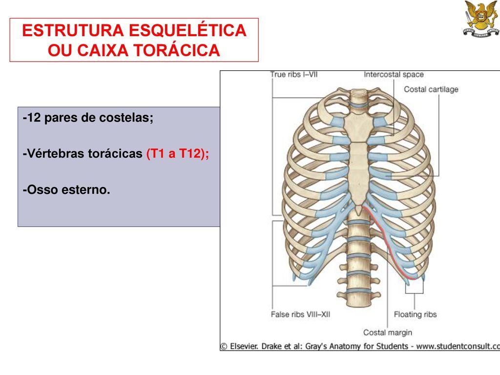 Anatomia topogr fica aplicada fisioterapia ppt carregar for Esterno e um osso irregular