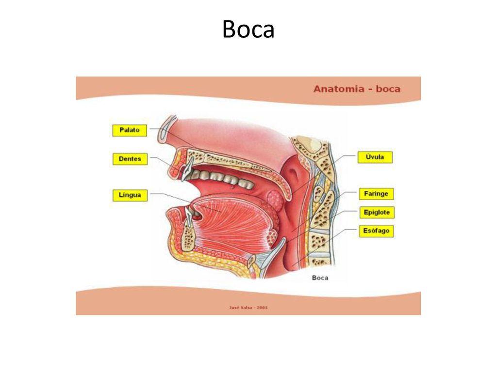 Único Anatomía De La Boca Imágenes - Anatomía de Las Imágenesdel ...