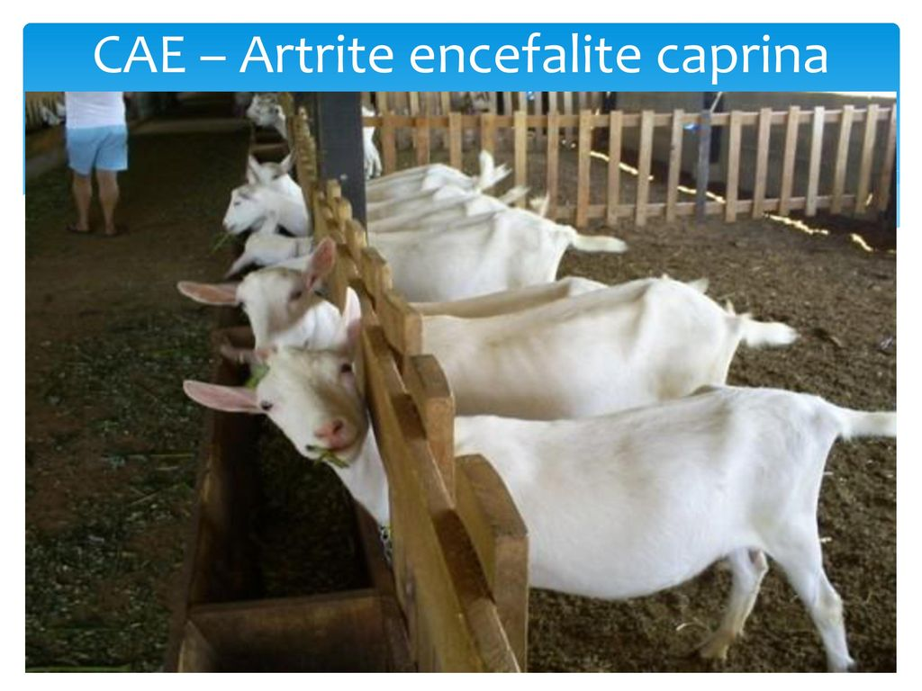 artrite encefalite caprina vacina)