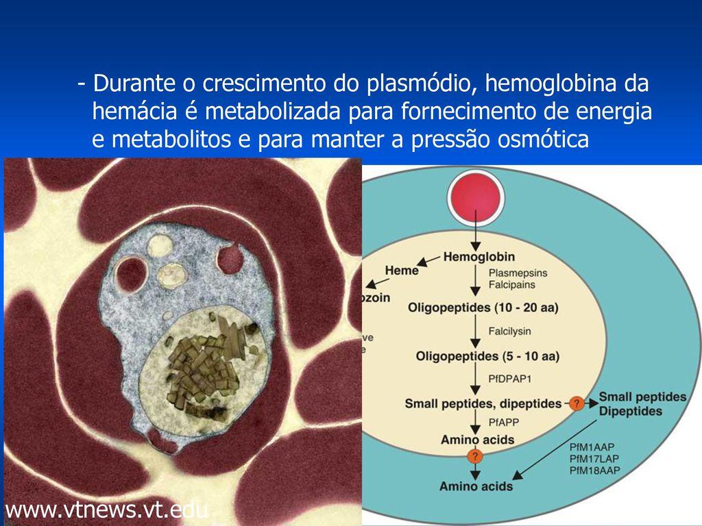 A malária plazmodia eritrocita szakaszai A malária tünetei, kezelése és megelőzése