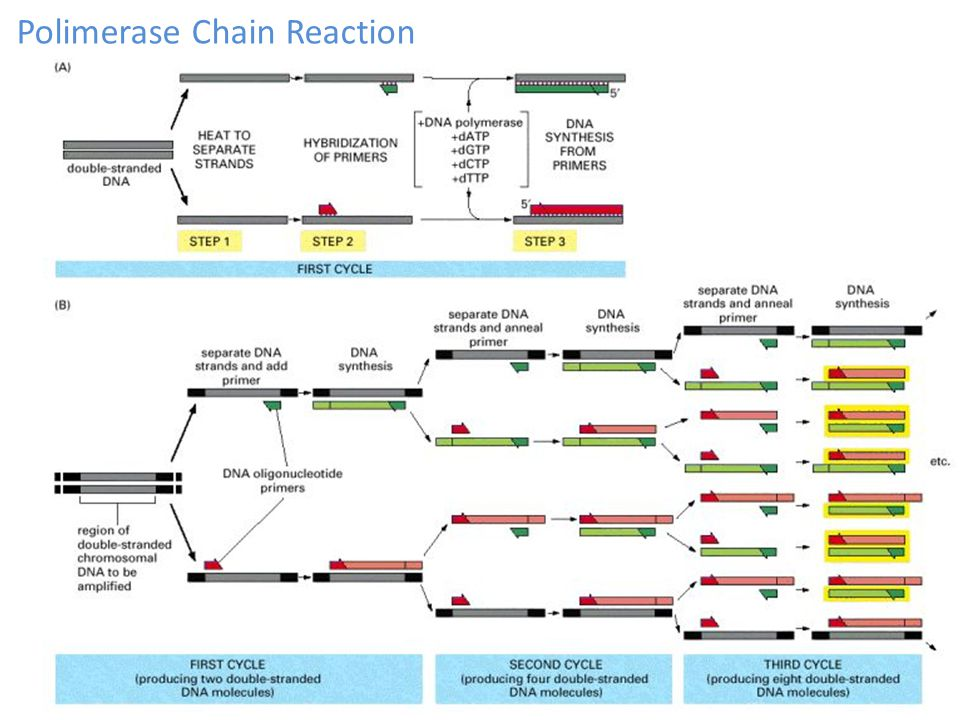 Polimerase Chain Reaction