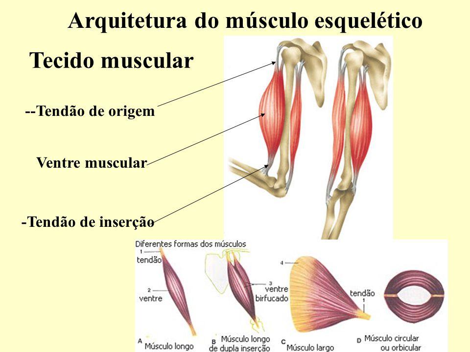 Lujo Imágenes Del Músculo Esquelético Galería - Imágenes de Anatomía ...