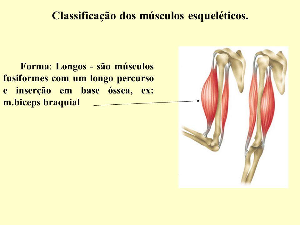 Dorable Diagrama De Los Músculos Esqueléticos Colección de Imágenes ...