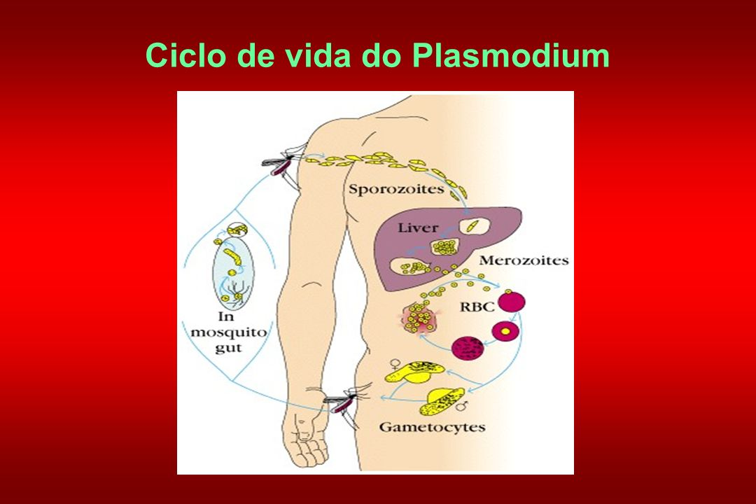 Ciclo de vida do Plasmodium