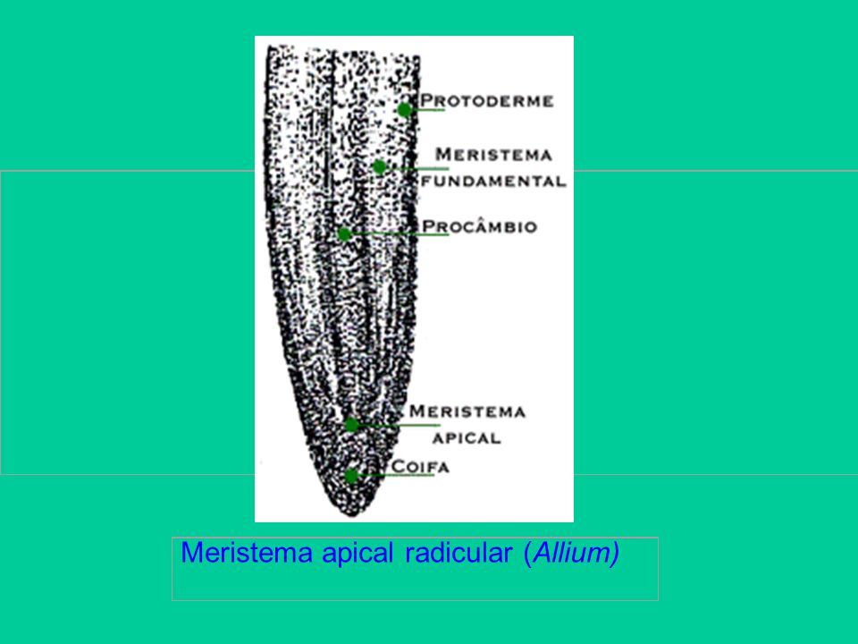 Meristema apical radicular (Allium)