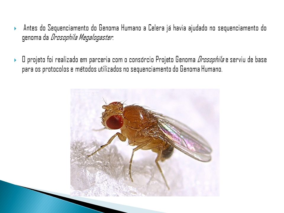 Antes do Sequenciamento do Genoma Humano a Celera já havia ajudado no sequenciamento do genoma da Drosophila Megalogaster.