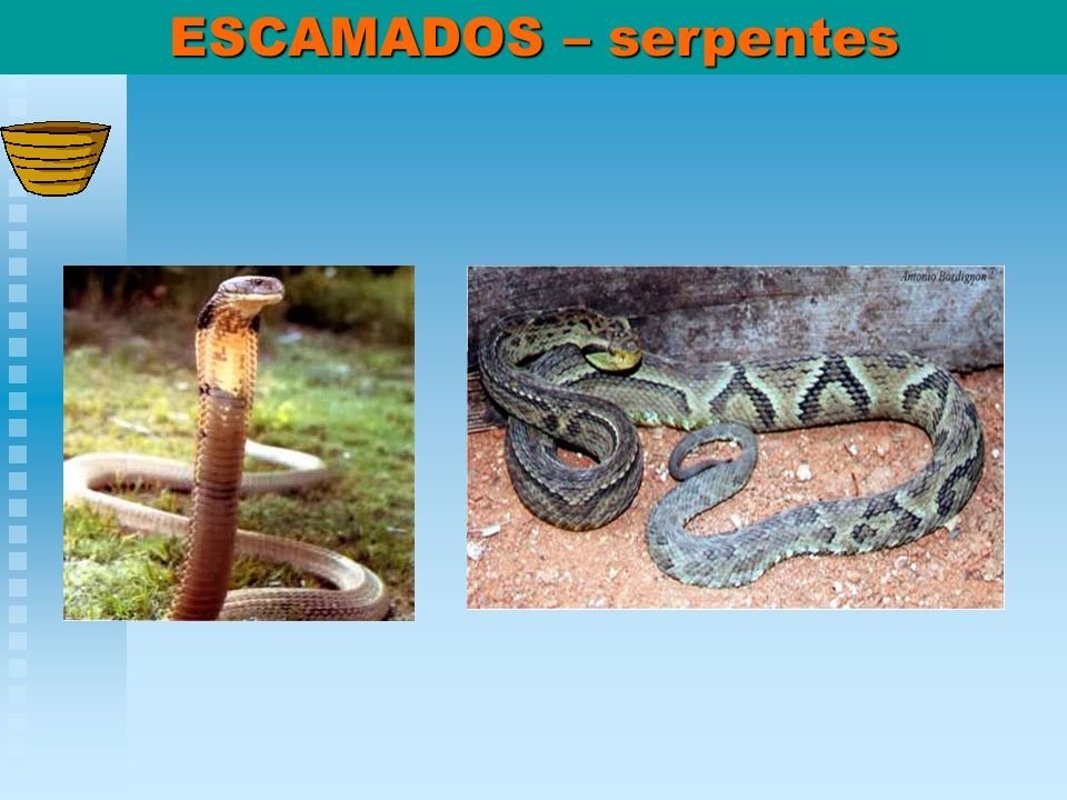 ESCAMADOS – serpentes