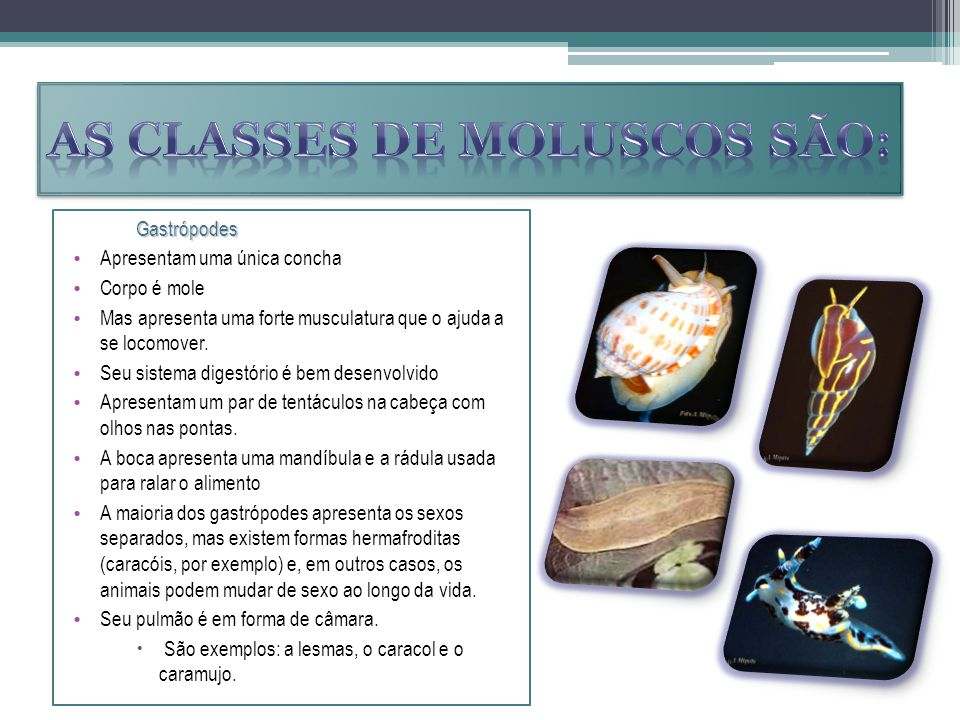 As classes de moluscos são: