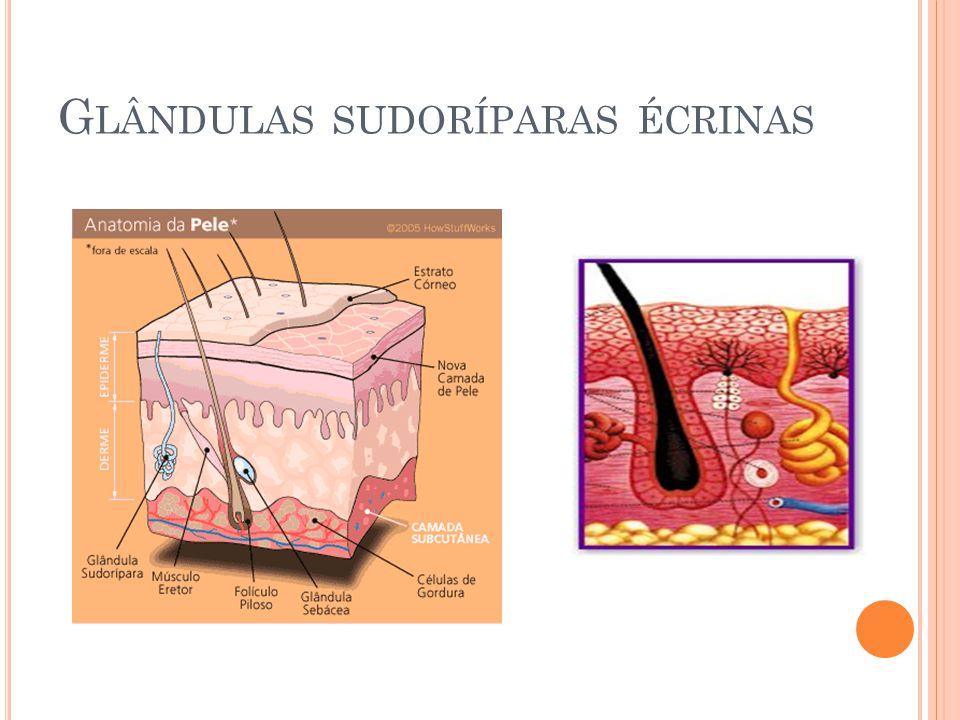 Moderno Las Glándulas Sudoríparas Ecrinas Composición - Anatomía de ...