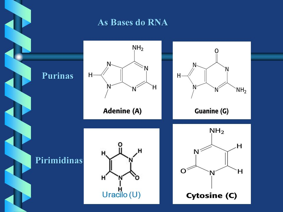 As Bases do RNA Purinas Uracilo (U) Pirimidinas