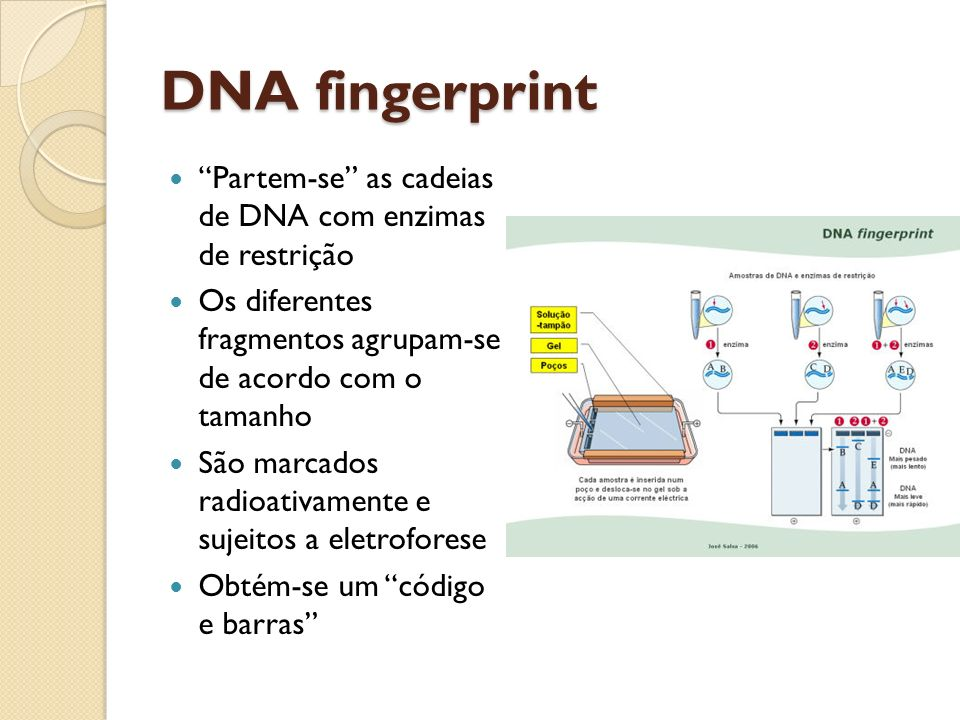 DNA fingerprint Partem-se as cadeias de DNA com enzimas de restrição