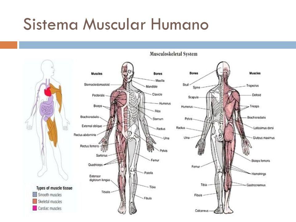 Excepcional Diagrama De Sistema Muscular Humano Marcado Motivo ...