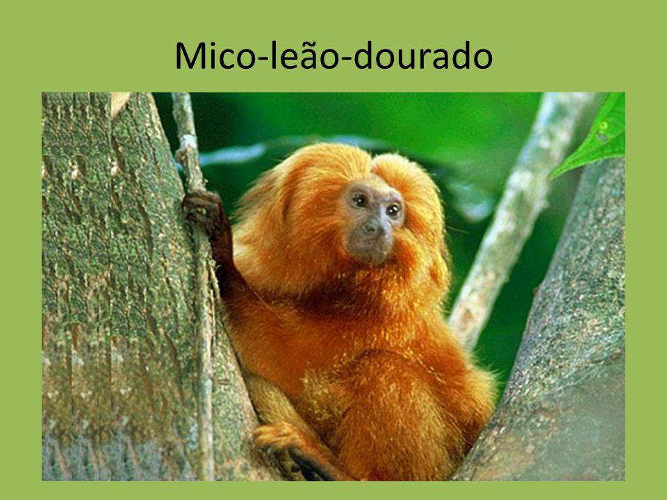 Ppt Carregar: Mico-leão-dourado.
