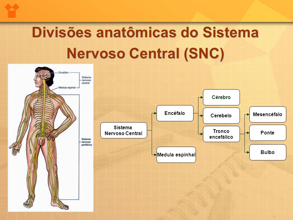 Divisões anatômicas do Sistema Nervoso Central (SNC)