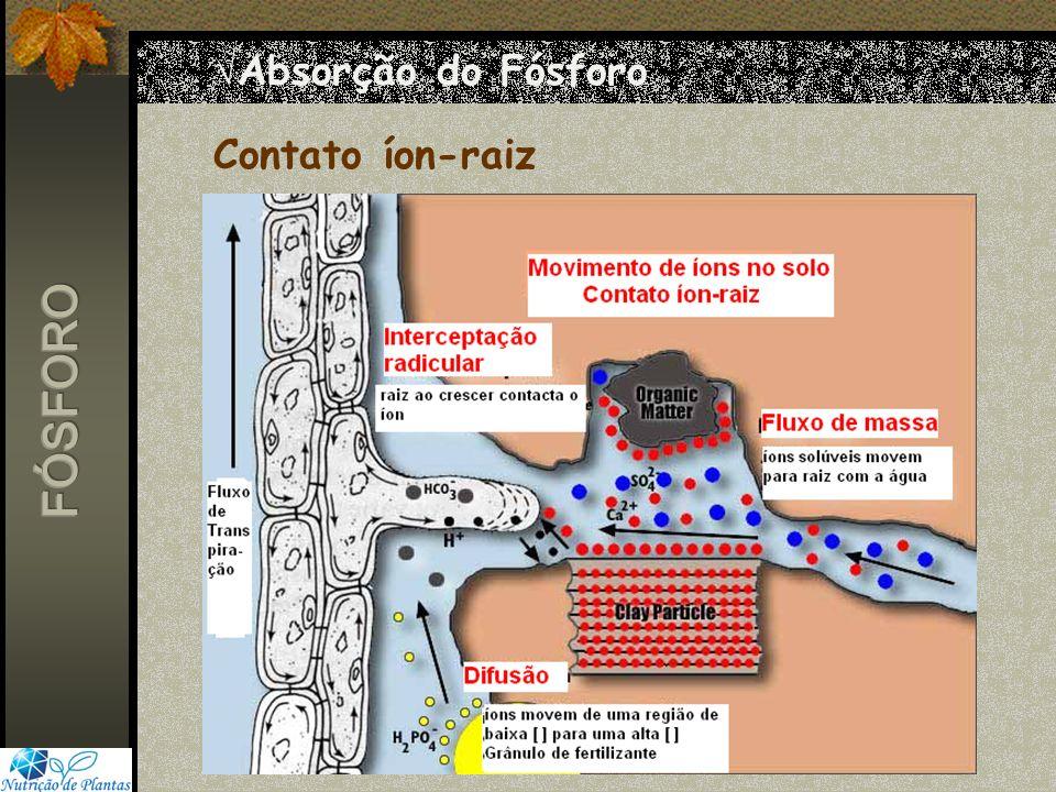 6f836096afd 3 Absorção do Fósforo Contato íon-raiz FÓSFORO