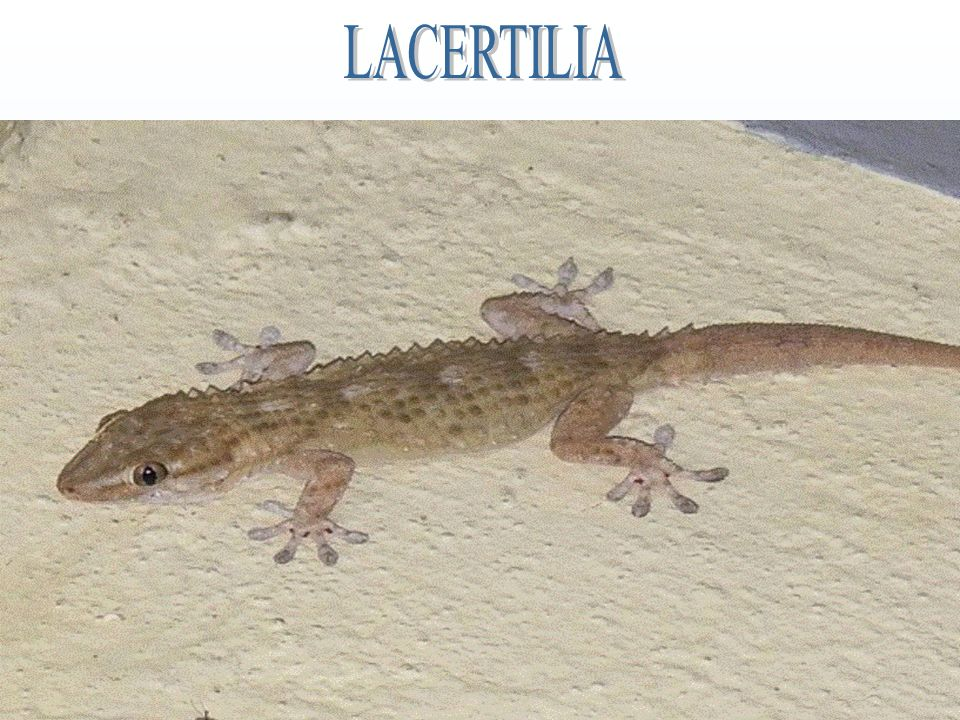 LACERTILIA