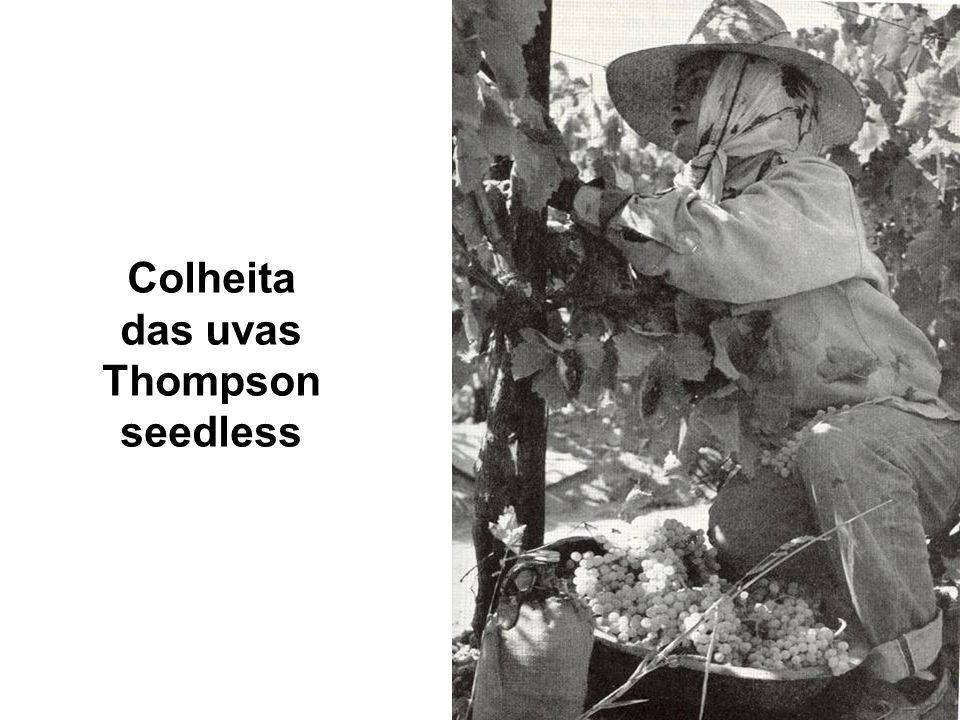 Colheita das uvas Thompson seedless