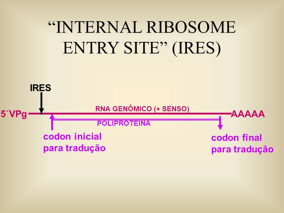 INTERNAL RIBOSOME ENTRY SITE (IRES)