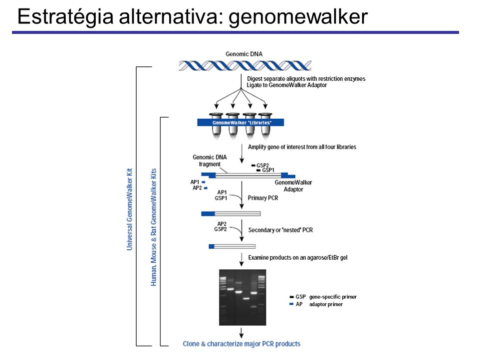 Estratégia alternativa: genomewalker