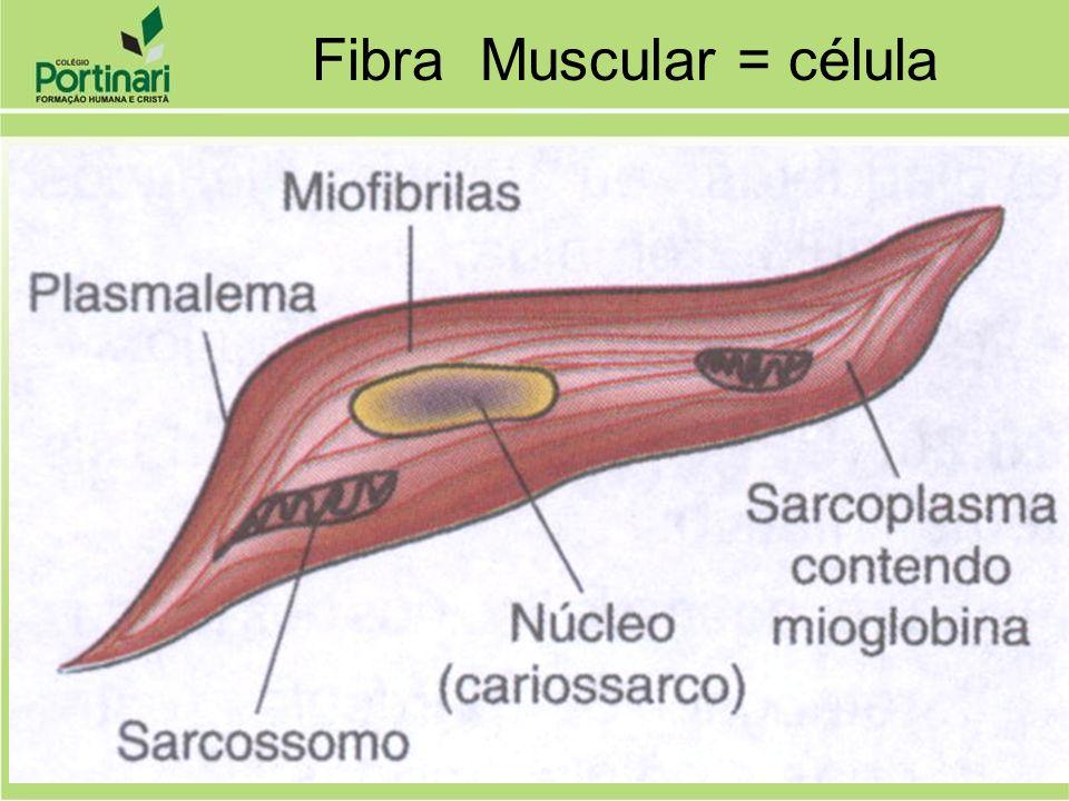 TECIDO MUSCULAR CONTRAÇÃO: filamentos especiais de ACTINA e MIOSINA ...