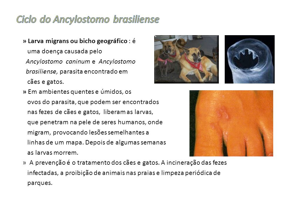 Ciclo do Ancylostomo brasiliense
