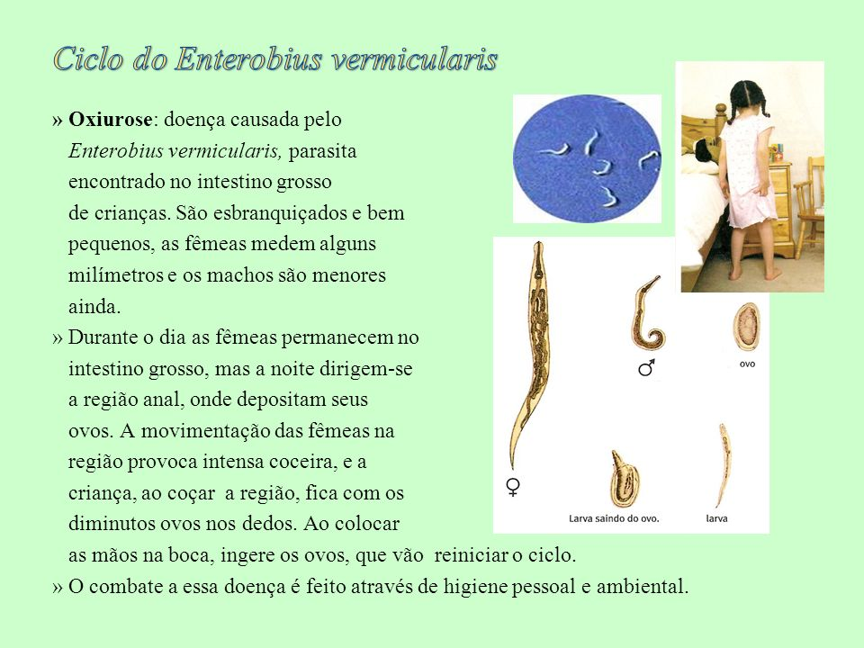 Ciclo do Enterobius vermicularis