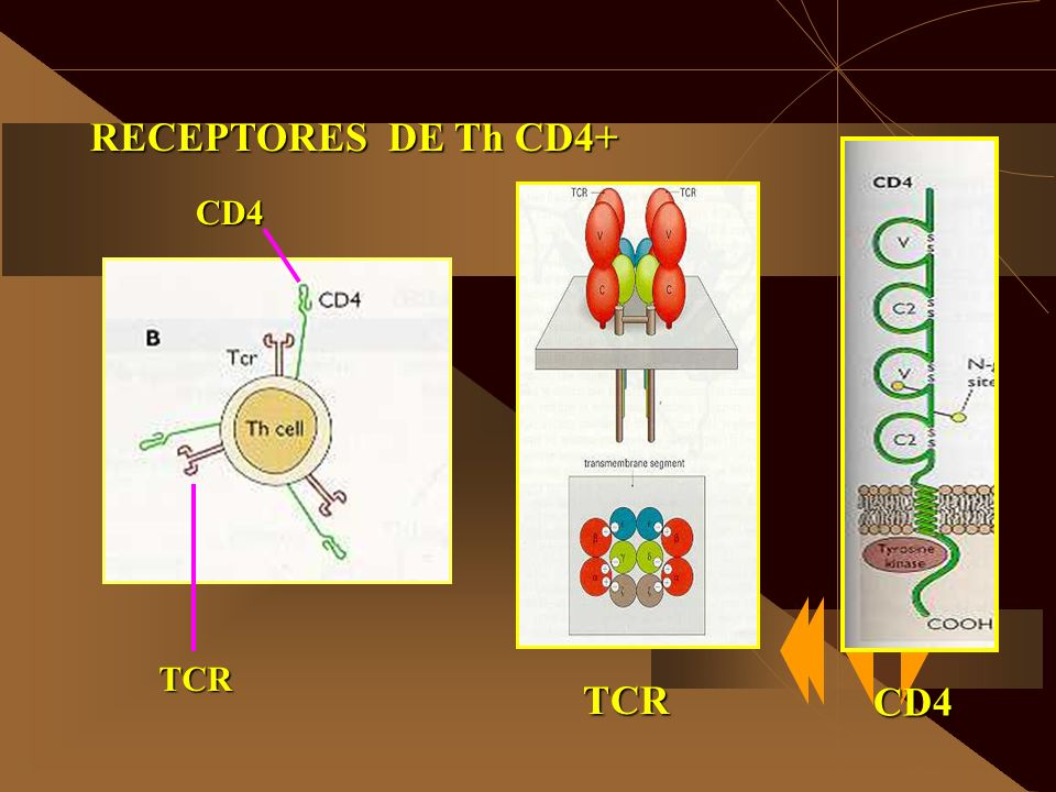 RECEPTORES DE Th CD4+ CD4 TCR TCR CD4